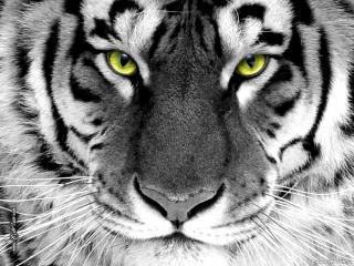 обои Белый тигр фото