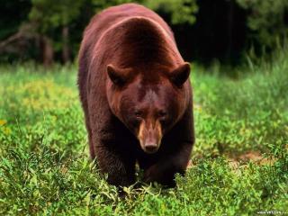 обои Медведь что-то ищет фото