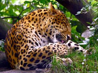 обои Леопард умывает лапу фото