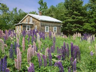 обои Lupines in Bloom, Edgecomb, Maine фото