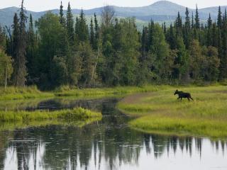 обои для рабочего стола: Young Bull Moose, Cheena River, Alaska