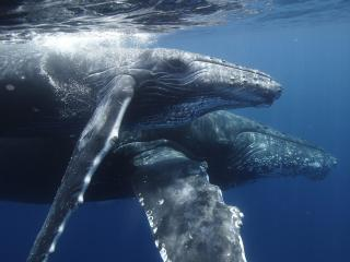 обои Humpback Whale Mother and Calf фото