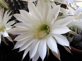 обои Цветок кактуса фото