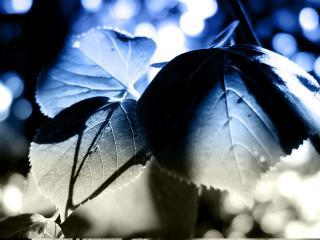 обои Синеватый листок фото