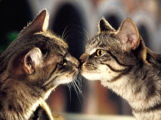 обои Любовь кошек фото