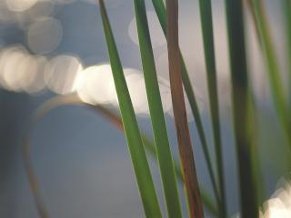 обои Травинки фото