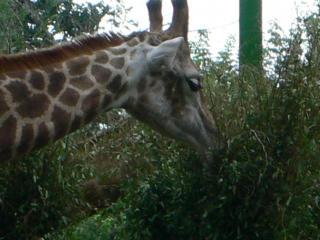 обои Жираф ест травку фото