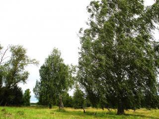 обои Деревья и сильный ветер фото