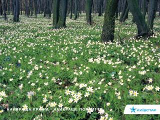 обои Киевстар. поле цветов фото