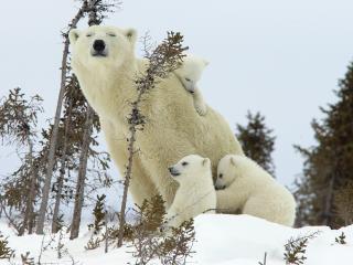 обои для рабочего стола: Полярная медведица с детенышами