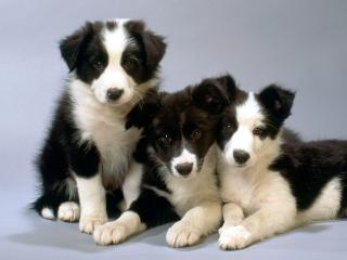 обои Чёрные и белые щенки колли фото