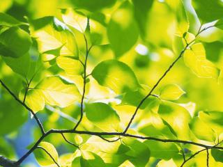 обои Листья в солнечном свете фото