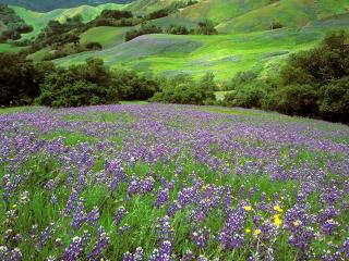 обои California Dreaming, Lupine Field, Cambria, California фото