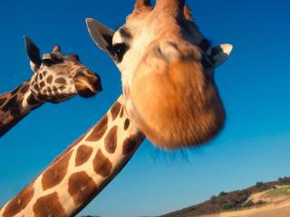 обои Смешной жираф фото