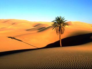 обои для рабочего стола: Одинокая пальма в Сахаре