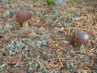 обои 2 гриба фото