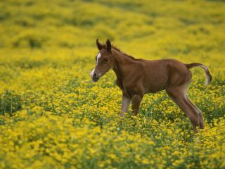 обои Two-Day-Old Arabian Colt, Louisville, Kentucky фото