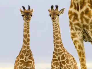 обои Two Newborn Giraffe, Masai Mara, Kenya фото