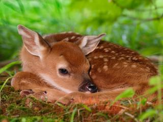 обои Two-Day-Old Baby White-Tailed Fawn фото