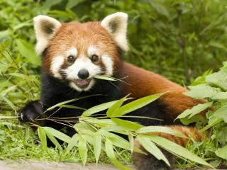 обои Red Panda Eating Bamboo, Sichuan Province, China фото