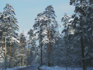 обои для рабочего стола: Зимний лес - сосны в снегу
