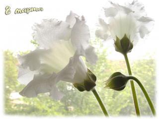 обои 8 марта-белые цветы фото