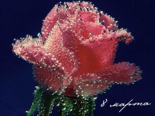 обои 8 марта-роза в капельках фото