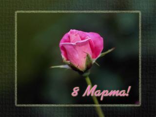 обои 8 марта-розовый бутон фото