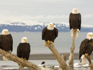 обои Bald Eagles, Kachemak Bay, Kenai Peninsula, Alaska фото