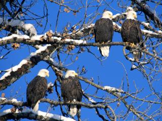 обои Four of a Kind, Bald Eagles, Alaska фото