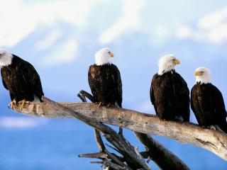 обои Wild and Free, Bald Eagles фото