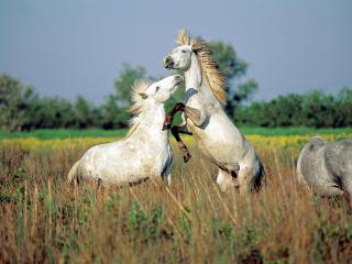 обои Wild Horses of Camargue, Southern France фото