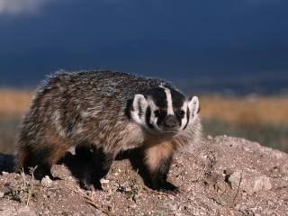обои North American Badger фото