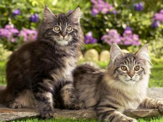 обои Maine Coon Kittens фото