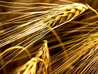 обои Спелая пшеница фото