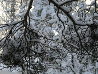 обои Ветка в снегу фото