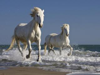 обои Camargue Horses Running in the Surf, France фото