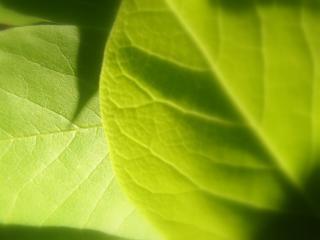 обои Зеленые листья лимона фото
