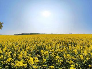 обои Панорама желтого поля фото