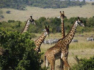 обои Giraffes, Masai Mara Game Reserve, Kenya фото