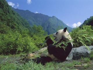 обои Giant Panda Eating Bamboo, Wolong Nature Reserve, Sichuan, China фото