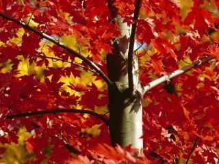 обои Осенний багровый клен фото