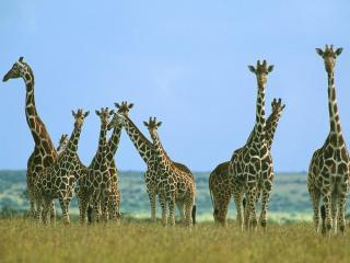 обои Стадо жирафов фото