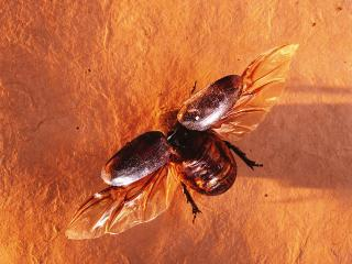 обои Майский жук фото