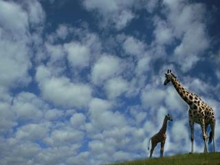 обои Жираф на фоне неба фото