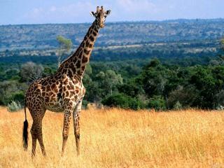 обои Жираф в саванне фото