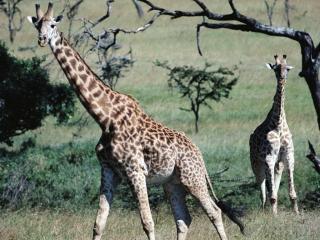 обои Любопытные жирафы фото