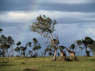обои Жирафы под саквойей фото