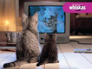 обои Whiskas. 2 кошки смотрят телевизор фото