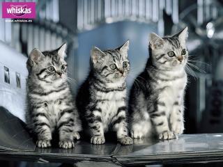 обои Whiskas. 3 котенка фото